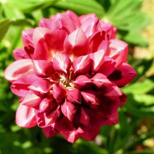 Lupine Bluete rot Lupinus 11