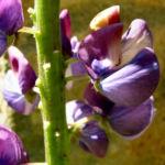 Lupine Bluete rotblau Lupinus 03