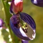 Lupine Bluete rotblau Lupinus 04