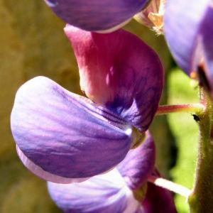 Lupine Bluete rotblau Lupinus 05