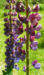 Zurück zum kompletten Bilderset Lupine Blüte rot blau Lupinus polyphyllus