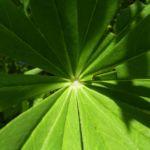 Lupinie blau Lupinus polyphyllus 01