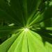 Zurück zum kompletten Bilderset Lupinie Blüte blau Lupinus polyphyllus