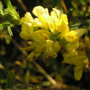 Luzerne Bluete gelb Medicago x varia 01