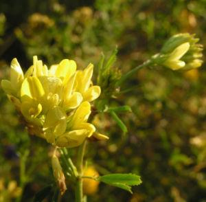 Luzerne Bluete gelb Medicago x varia 03