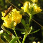 Bild: Bastard-Luzerne Blüte gelb Medicago x varia