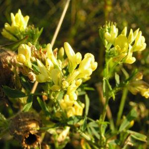 Luzerne Bluete gelb Medicago x varia 06