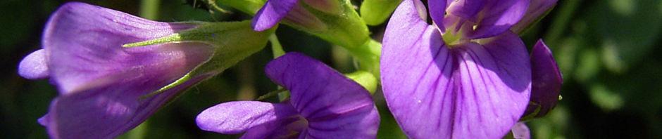 Anklicken um das ganze Bild zu sehen Luzerne Blüte blau Medicago sativa
