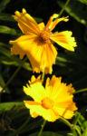 Maedchenauge Bluete gelb Coreopsis lanceolata 03