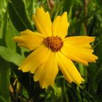 Maedchenauge Bluete gelb Coreopsis lanceolata 04