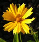 Maedchenauge Bluete gelb Coreopsis lanceolata 05
