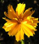 Bild: Mädchenauge Blüte gelb - Coreopsis lanceolata