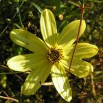 Maedchenauge Bluete hell gelb Coreopsis verticillata 02