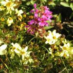 Bild: Quirlblättriges Mädchenauge Blüte hellgelb Coreopsis verticillata