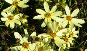 Maedchenauge Bluete hell gelb Coreopsis verticillata 04