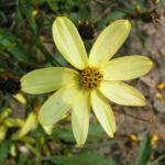 Maedchenauge Blume Bluete hellgelb Coreopsis verticillata 02