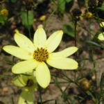 Bild: Mädchenauge Blume Blüte hellgelb Coreopsis verticillata