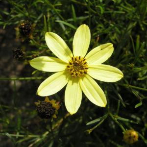 Maedchenauge Blume Bluete hellgelb Coreopsis verticillata 04