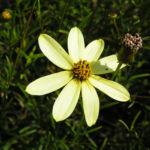 Maedchenauge Blume Bluete hellgelb Coreopsis verticillata 05