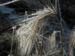 Zurück zum kompletten Bilderset Mähnengerste Ähre silber grau Hordeum jubatum
