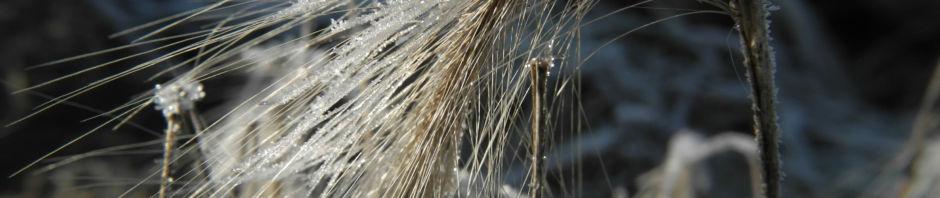 Anklicken um das ganze Bild zu sehen  Mähnengerste Ähre silber grau Hordeum jubatum