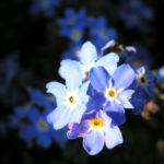 Maennertreu Gedenkmein Bluete blau Omphalodes verna 01
