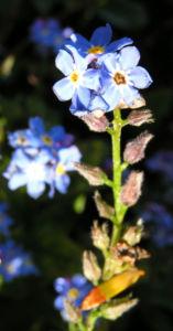 Maennertreu Gedenkmein Bluete blau Omphalodes verna 02
