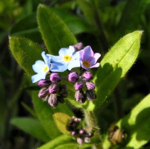 Maennertreu Gedenkmein Bluete blau Omphalodes verna 03