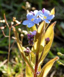 Maennertreu Gedenkmein Bluete blau Omphalodes verna 04