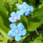 Maennertreu Gedenkmein Bluete blau Omphalodes verna 05