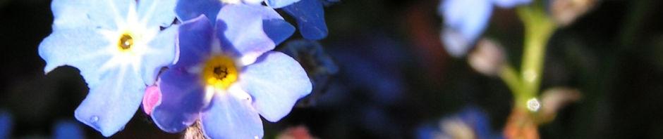 maennertreu-gedenkmein-fruehlings-nabelnuesschen-bluete-blau-omphalodes-verna