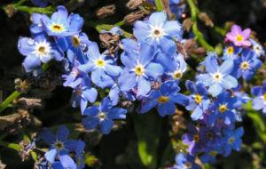 Maennertreu Gedenkmein Bluete blau Omphalodes verna 08