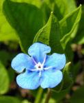 Maennertreu Gedenkmein Bluete blau Omphalodes verna 09