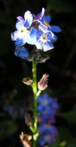 Maennertreu Gedenkmein Bluete blau Omphalodes verna 10