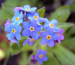 Maennertreu Gedenkmein Bluete blau Omphalodes verna 11