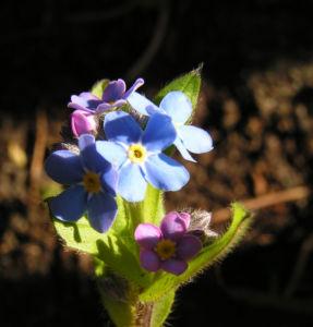 Maennertreu Gedenkmein Bluete blau Omphalodes verna 12