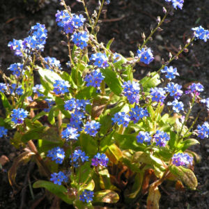Maennertreu Gedenkmein Bluete blau Omphalodes verna 13