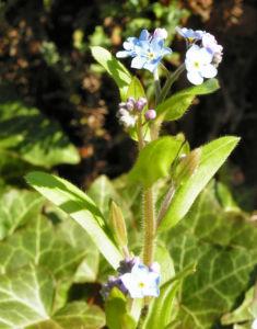 Maennertreu Gedenkmein Bluete blau Omphalodes verna 14