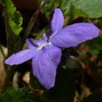 Maerz Veilchen Viola odorata 03