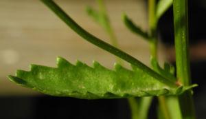 Magerwiesen Margerite Blatt gruen Leucanthemum vulgare 03