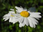 Magerwiesen Margerite Bluete weiss Leucanthemum vulgare 02