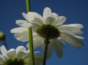 Magerwiesen Margerite Bluete weiss Leucanthemum vulgare 04