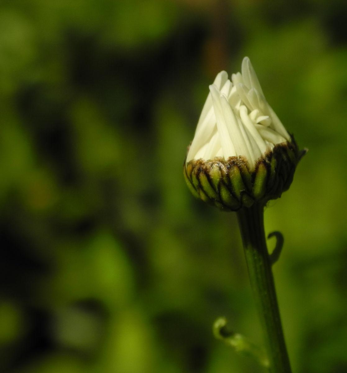 Magerwiesen Margerite Bluete weiss Leucanthemum vulgare