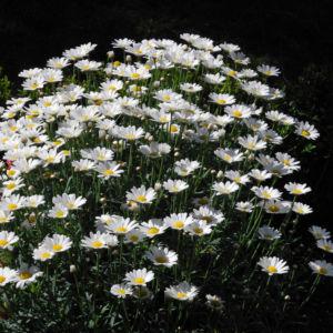 Magerwiesen Margerite Bluete weiss Leucanthemum vulgare 10