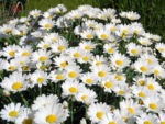 Bild: Magerwiesen-Margerite Blüte weiß Leucanthemum vulgare