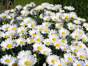 Magerwiesen-Margerite Blüte weiß Leucanthemum vulgare