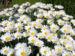 Zurück zum kompletten Bilderset Magerwiesen-Margerite Blüte weiß Leucanthemum vulgare