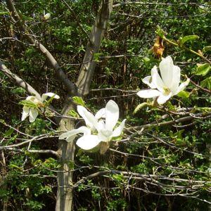 Magnolie weisse Blueten Magnolia salicifolia 01