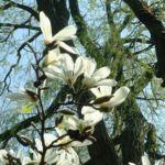 Magnolie Magnolia 01