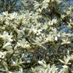 Bild: Kobushi-Magnolie Blüte weiß Magnolia kobus